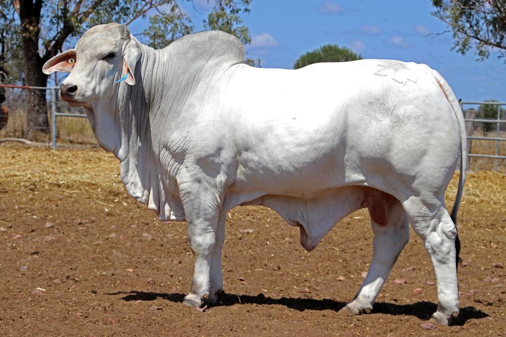 Herd Bull: ELROSE DOMINO 18660